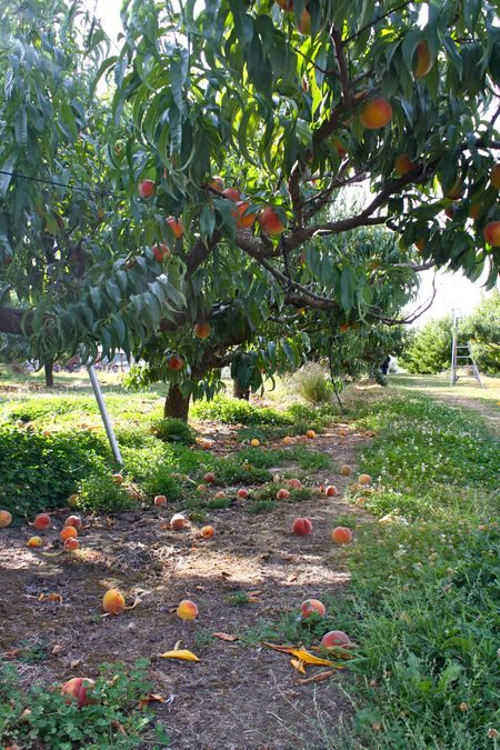 Peaches at Smith's GreenBluff Orchard