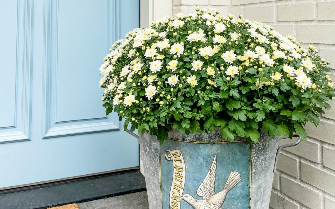 How to Care for Potted Mums